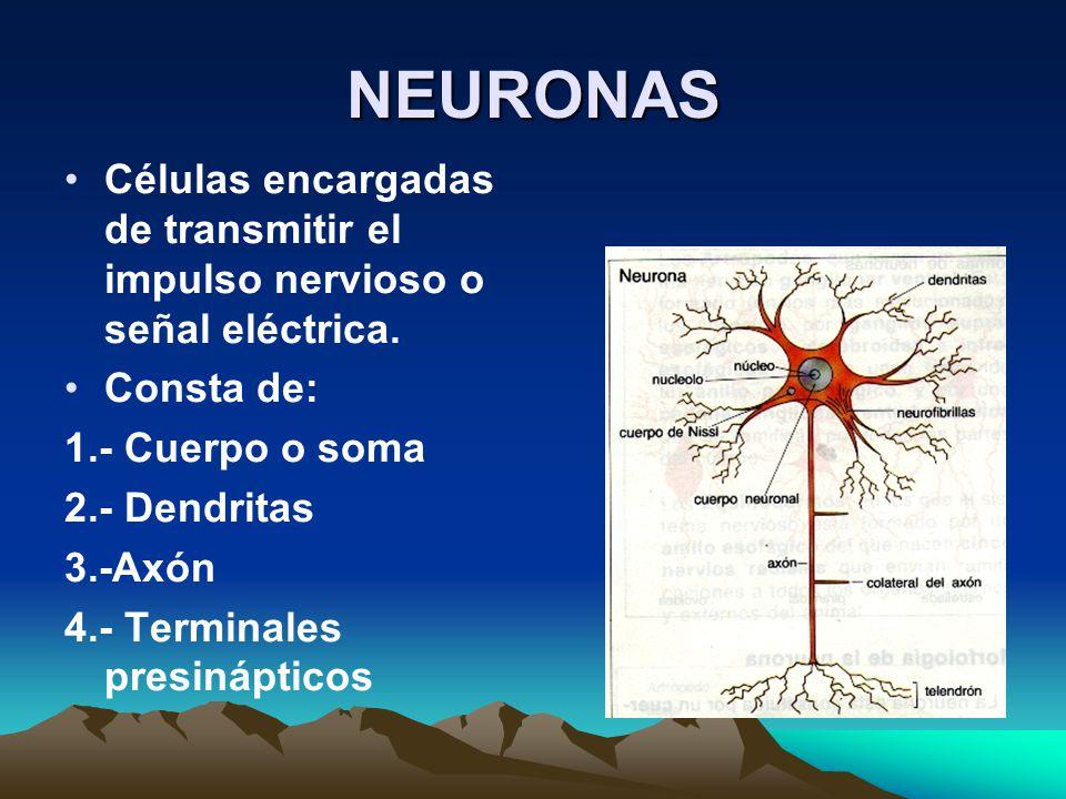 NEURONAS Células encargadas de transmitir el impulso nervioso o señal eléctrica. Consta de: 1.- Cuerpo o soma 2.- Dendritas 3.-Axón 4.- Terminales pre