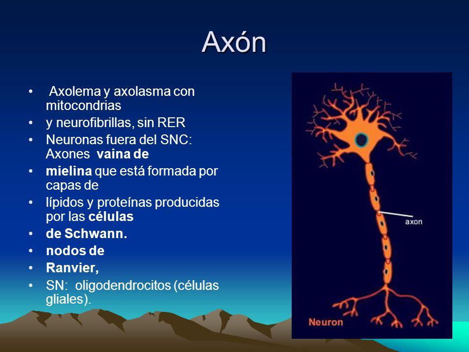 Axón Axolema y axolasma con mitocondrias y neurofibrillas, sin RER Neuronas fuera del SNC: Axones vaina de mielina que está formada por capas de lípidos y proteínas producidas por las células de Schwann.