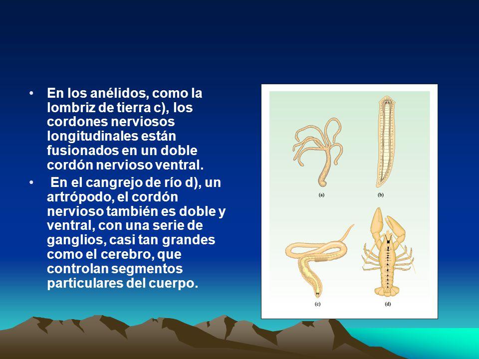 En los anélidos, como la lombriz de tierra c), los cordones nerviosos longitudinales están fusionados en un doble cordón nervioso ventral. En el cangr