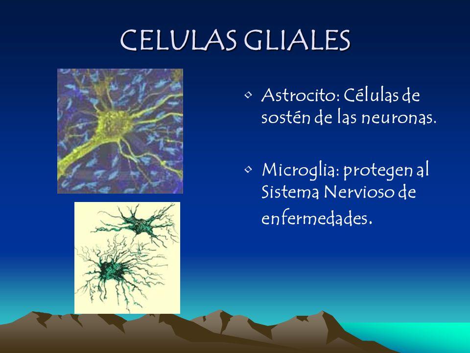CELULAS GLIALES Astrocito: Células de sostén de las neuronas. Microglia: protegen al Sistema Nervioso de enfermedades.