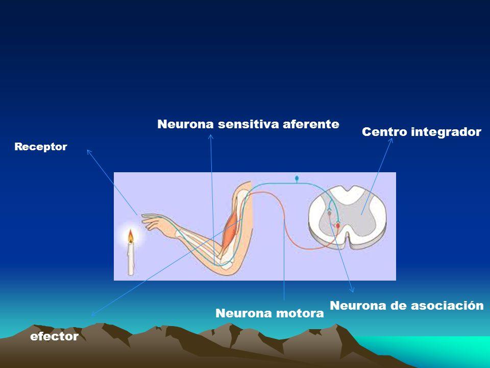 Receptor Neurona sensitiva aferente Centro integrador Neurona de asociación Neurona motora efector