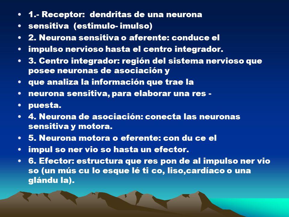 1.- Receptor: dendritas de una neurona sensitiva (estimulo- imulso) 2. Neurona sensitiva o aferente: conduce el impulso nervioso hasta el centro integ