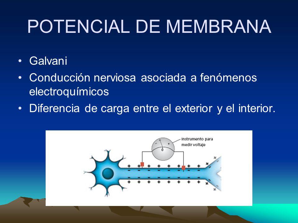 POTENCIAL DE MEMBRANA Galvani Conducción nerviosa asociada a fenómenos electroquímicos Diferencia de carga entre el exterior y el interior.