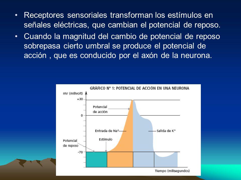 Receptores sensoriales transforman los estímulos en señales eléctricas, que cambian el potencial de reposo. Cuando la magnitud del cambio de potencial
