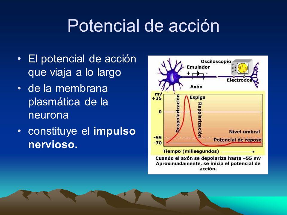 Potencial de acción El potencial de acción que viaja a lo largo de la membrana plasmática de la neurona constituye el impulso nervioso.