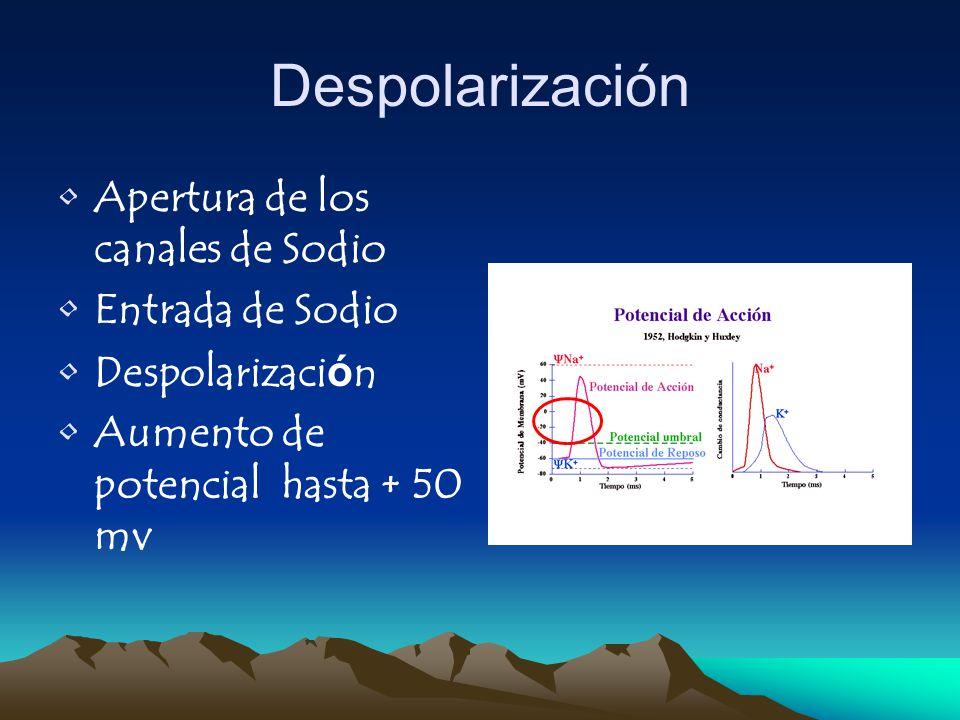 Despolarización Apertura de los canales de Sodio Entrada de Sodio Despolarización Aumento de potencial hasta + 50 mv