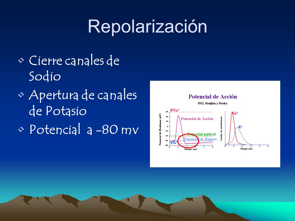 Repolarización Cierre canales de Sodio Apertura de canales de Potasio Potencial a -80 mv
