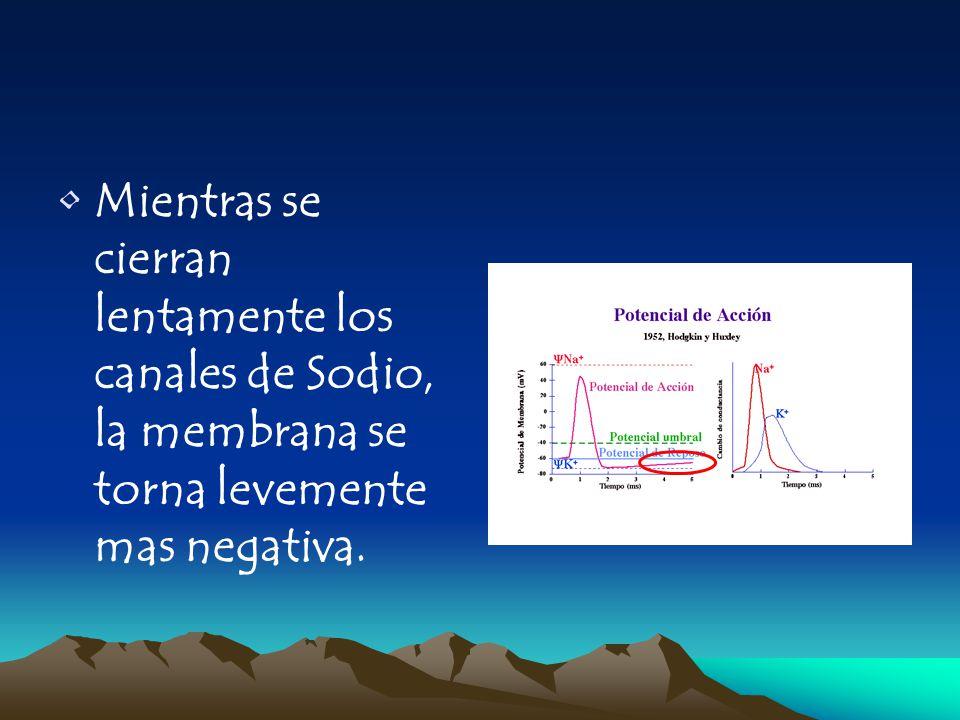 Mientras se cierran lentamente los canales de Sodio, la membrana se torna levemente mas negativa.