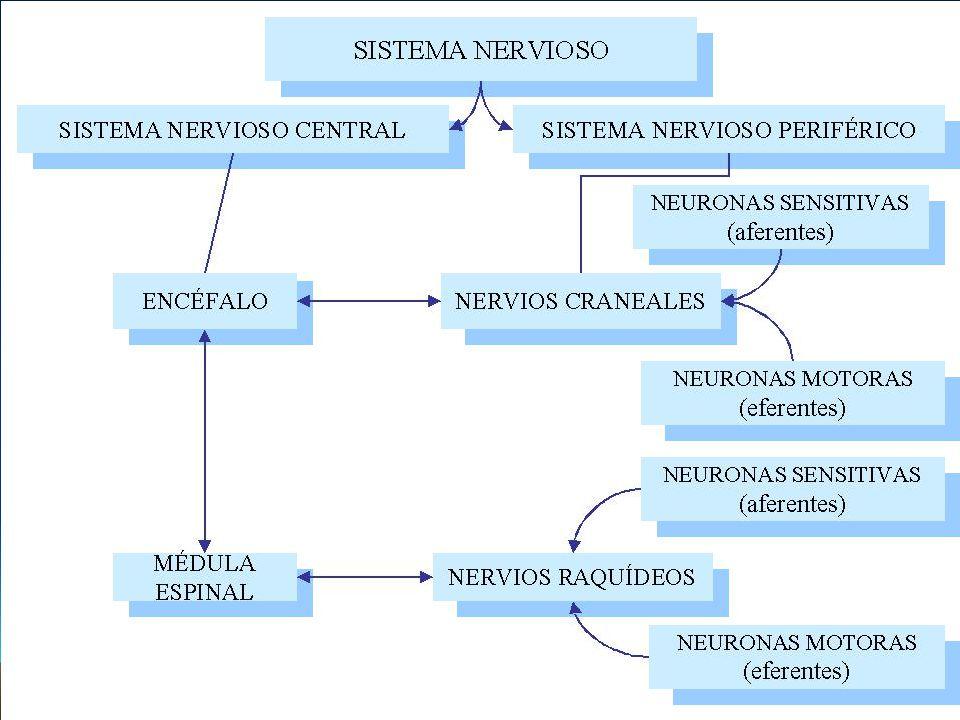MESENCEFALO Posee los centros reflejos para los movimientos de los ojos, cabeza y cuello, en respuesta a estímulos visuales y los movimientos de la cabeza para estímulos auditivos.