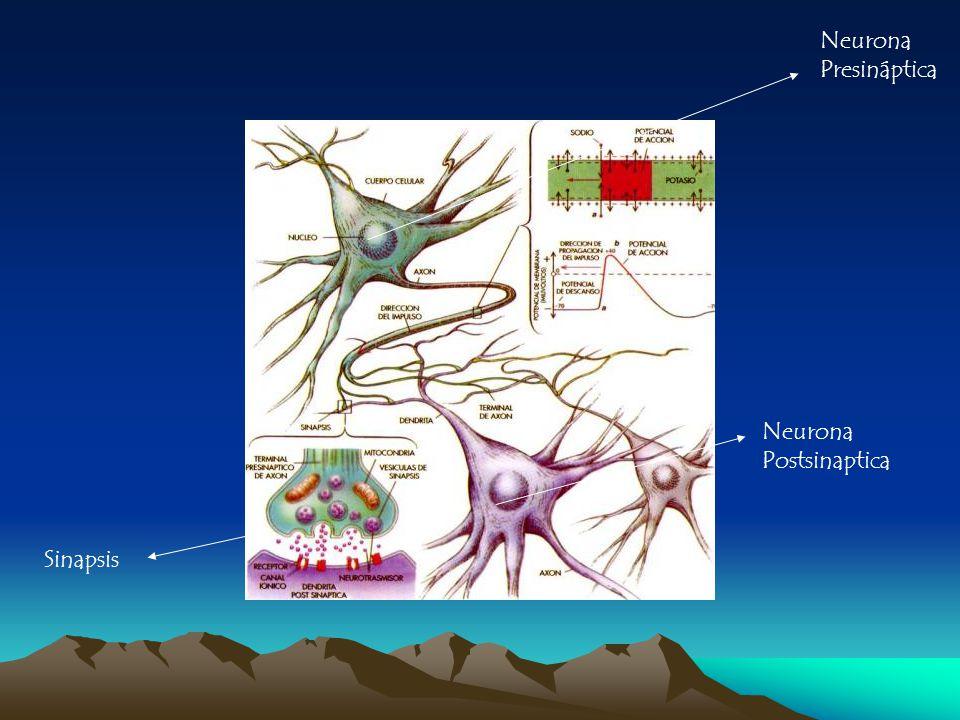 Neurona Presináptica Neurona Postsinaptica Sinapsis