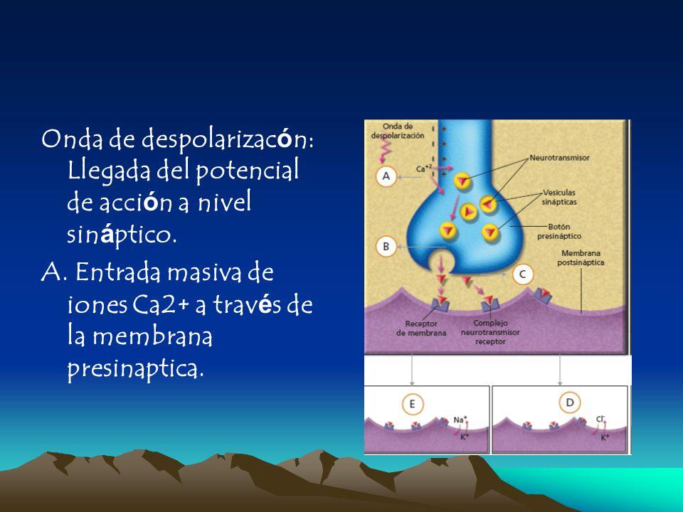 Onda de despolarizacón: Llegada del potencial de acción a nivel sináptico. A. Entrada masiva de iones Ca2+ a través de la membrana presinaptica.
