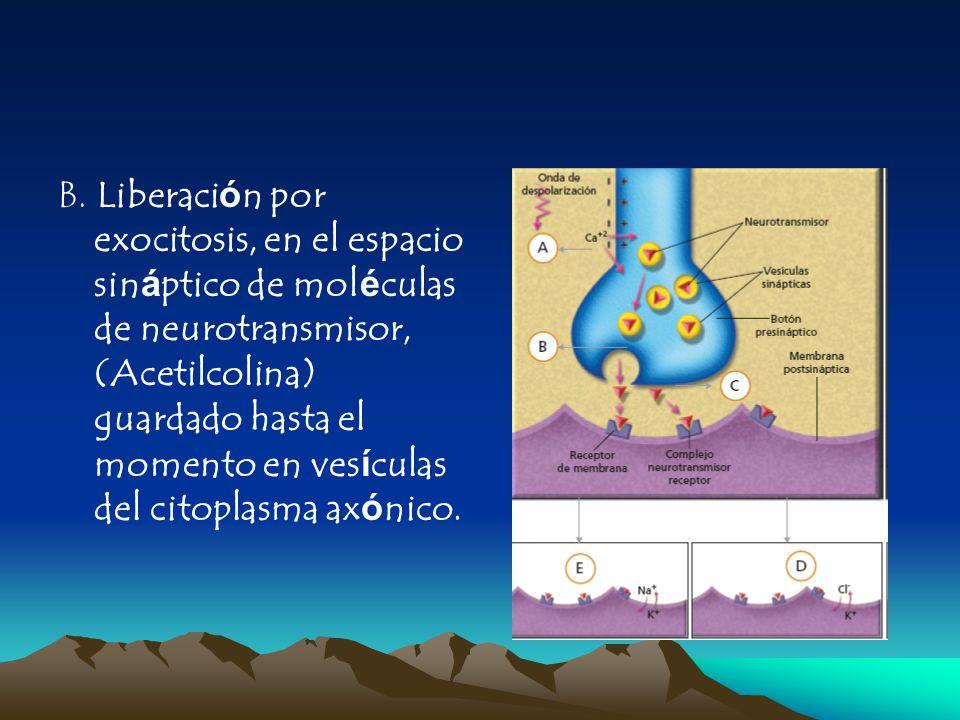 B. Liberación por exocitosis, en el espacio sináptico de moléculas de neurotransmisor, (Acetilcolina) guardado hasta el momento en vesículas del citop