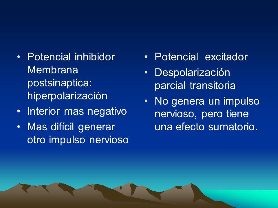 Potencial inhibidor Membrana postsinaptica: hiperpolarización Interior mas negativo Mas difícil generar otro impulso nervioso Potencial excitador Desp