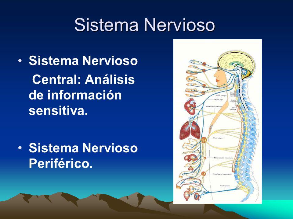 Sinapsis unión intercelular especializada entre neuronas neuronas El impulso nervioso se propaga de una neurona a otra a través de un proceso llamado sinapsis