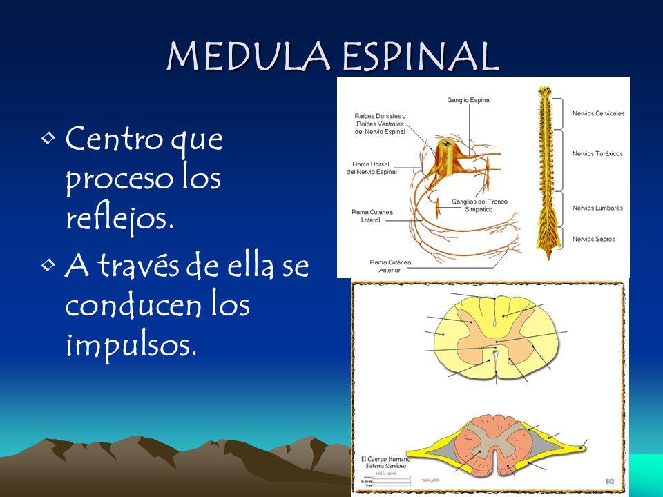 MEDULA ESPINAL Centro que proceso los reflejos. A través de ella se conducen los impulsos.