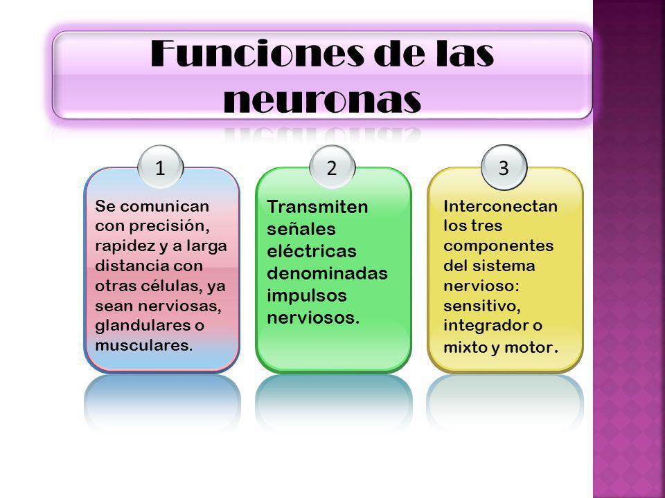 1 Se comunican con precisión, rapidez y a larga distancia con otras células, ya sean nerviosas, glandulares o musculares. 2 Transmiten señales eléctri