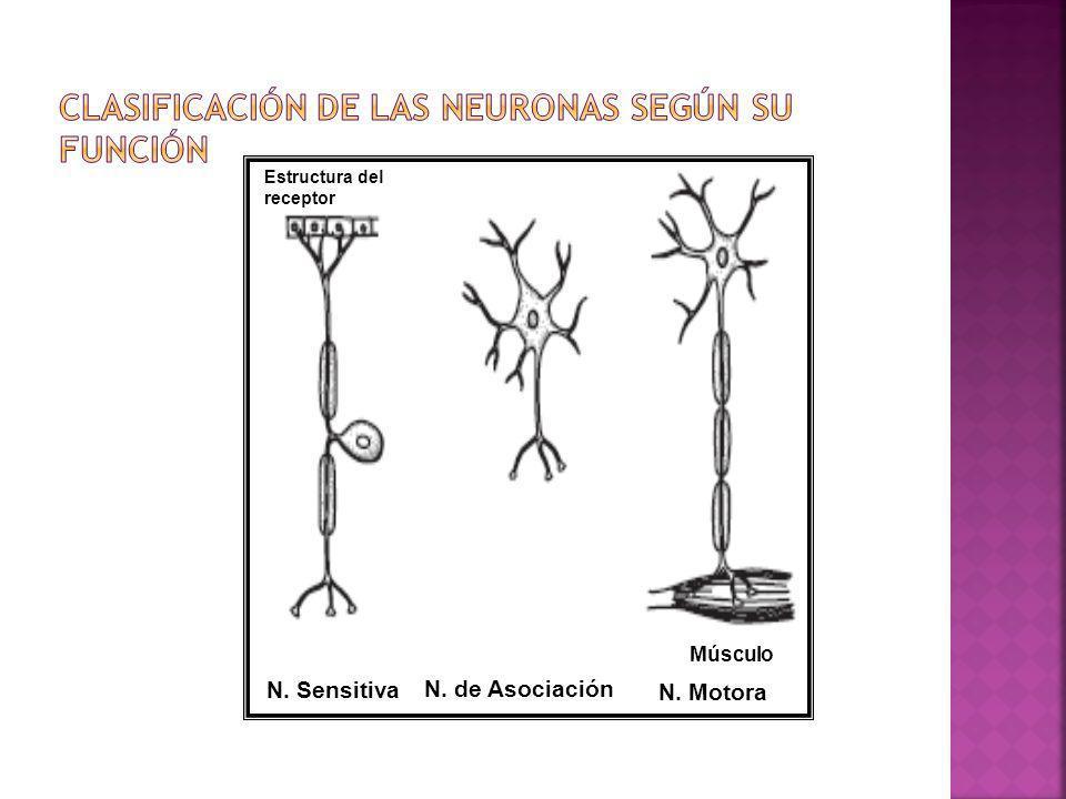N. Sensitiva N. de Asociación N. Motora Músculo Estructura del receptor