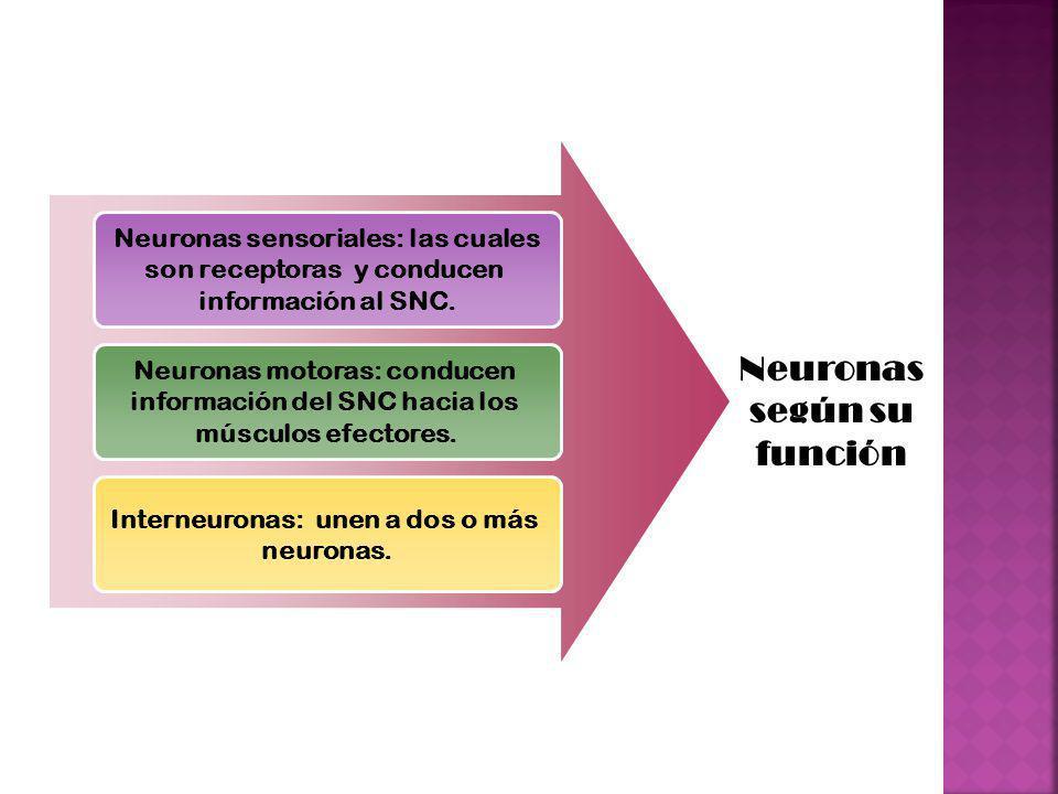 Neuronas sensoriales: las cuales son receptoras y conducen información al SNC. Neuronas motoras: conducen información del SNC hacia los músculos efect