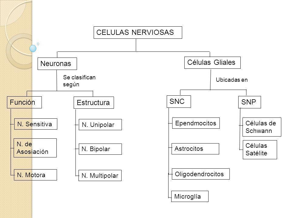 CELULAS NERVIOSAS Neuronas Células Gliales Se clasifican según Función Estructura N. Sensitiva N. de Asosiación N. Motora N. Unipolar N. Bipolar N. Mu