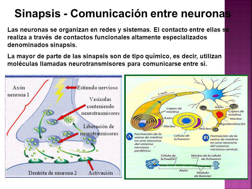 Sinapsis - Comunicación entre neuronas Las neuronas se organizan en redes y sistemas. El contacto entre ellas se realiza a través de contactos funcion