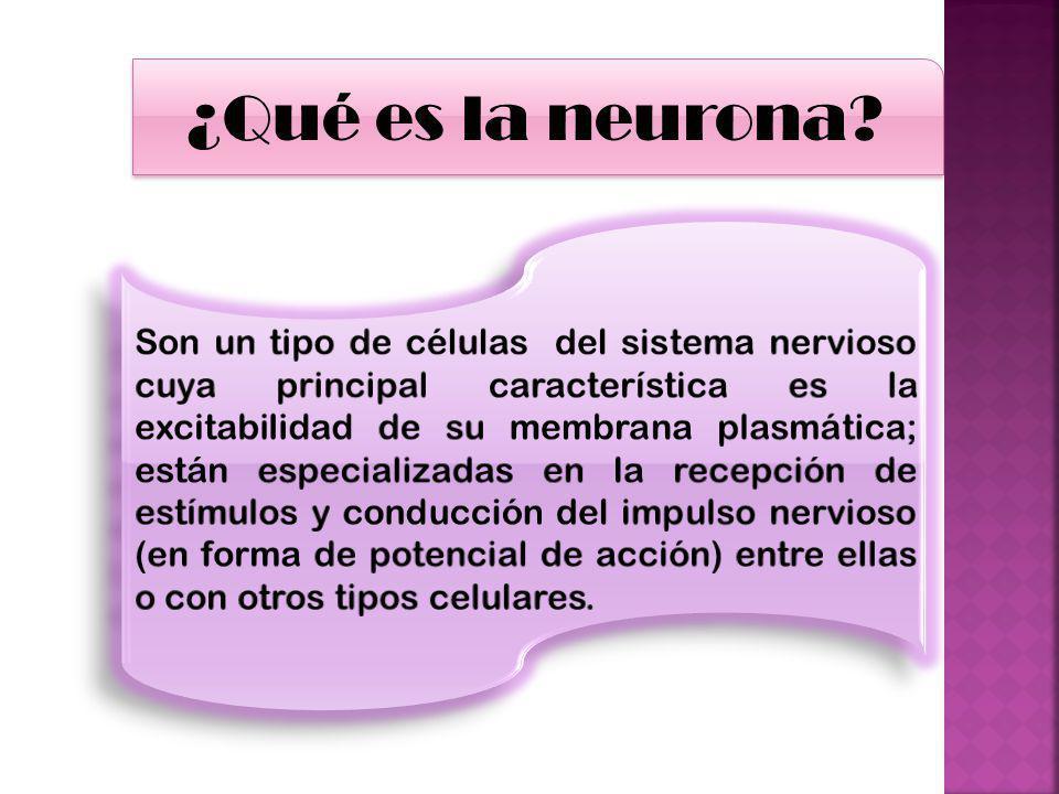 ¿Qué es la neurona?