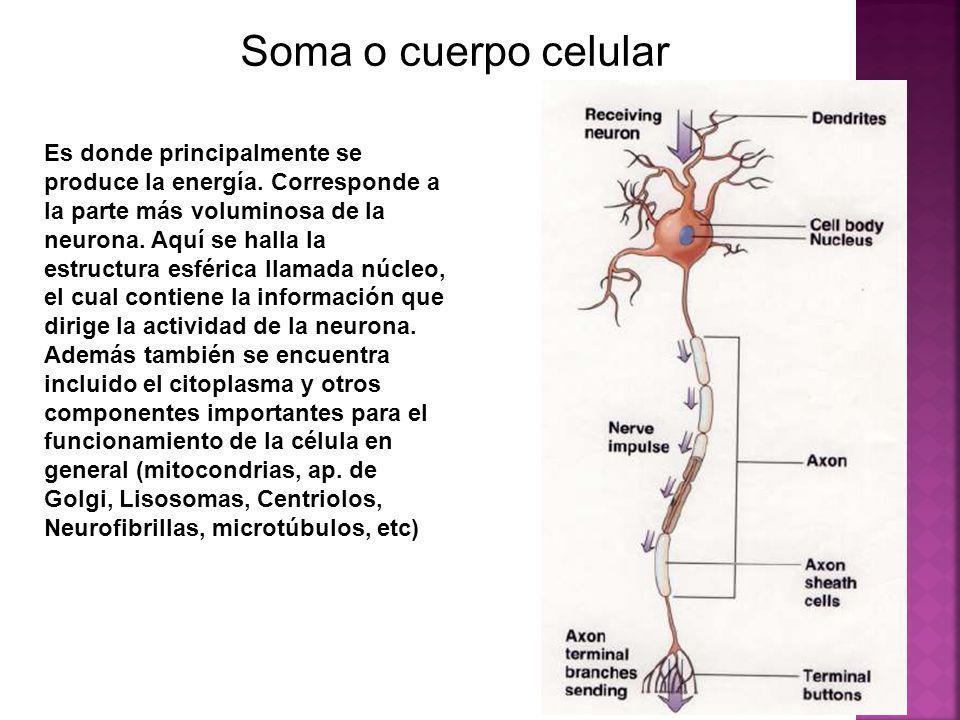Soma o cuerpo celular Es donde principalmente se produce la energía. Corresponde a la parte más voluminosa de la neurona. Aquí se halla la estructura
