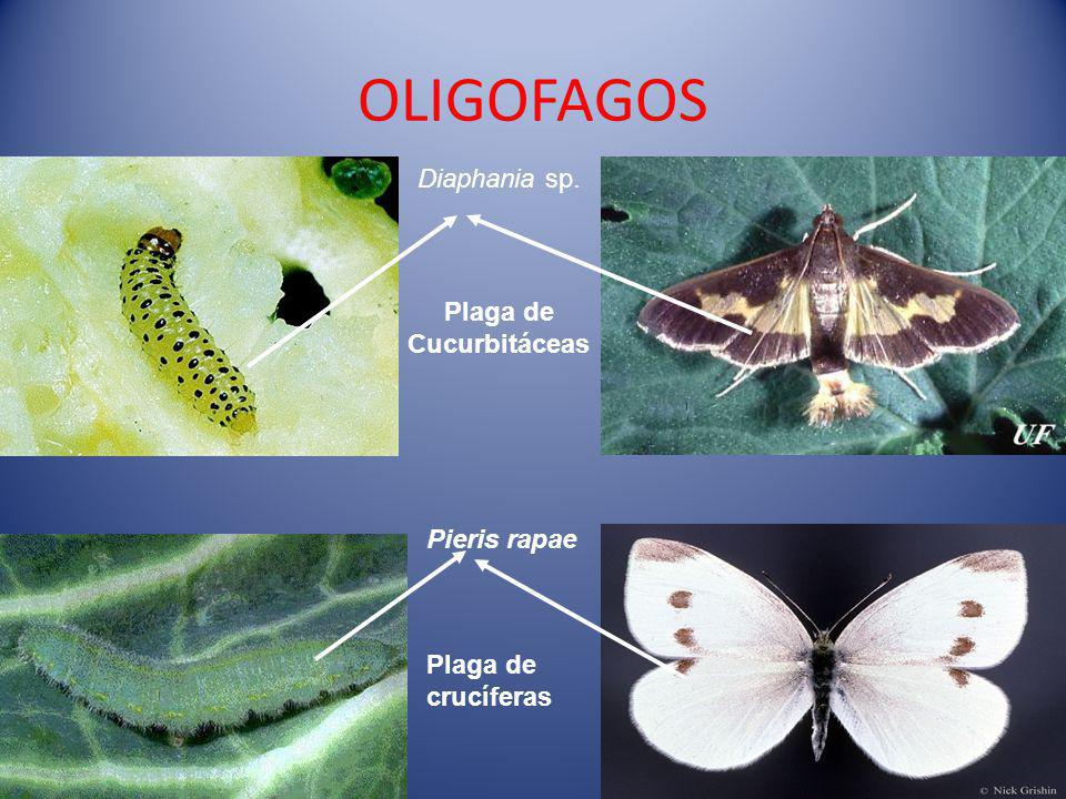 OLIGOFAGOS Diaphania sp. Plaga de Cucurbitáceas Plaga de crucíferas Pieris rapae