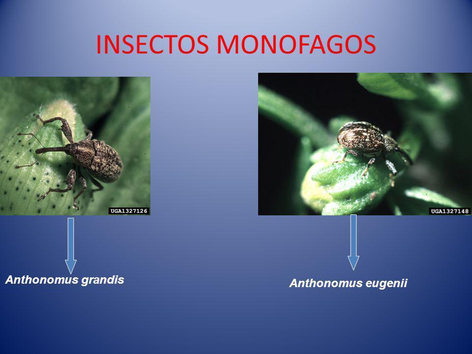 INSECTOS MONOFAGOS Anthonomus grandis Anthonomus eugenii