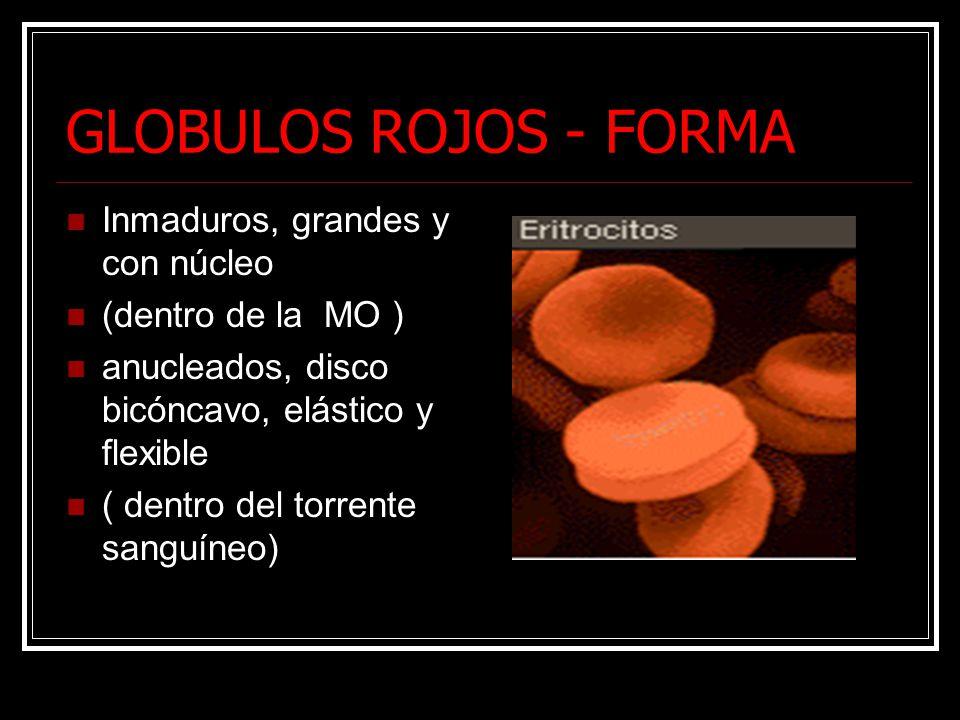 GLOBULOS ROJOS - FORMA Inmaduros, grandes y con núcleo (dentro de la MO ) anucleados, disco bicóncavo, elástico y flexible ( dentro del torrente sanguíneo)