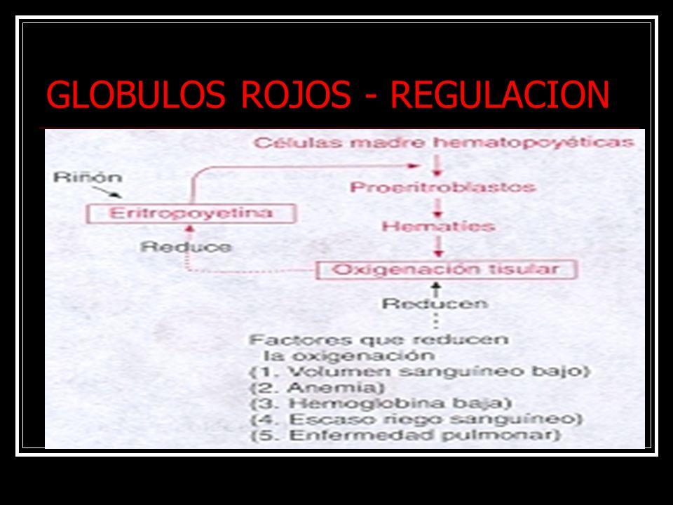 GLOBULOS ROJOS - REGULACION