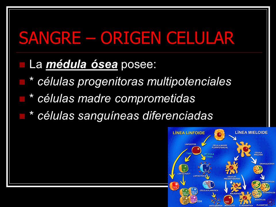 SANGRE – ORIGEN CELULAR La médula ósea posee: * células progenitoras multipotenciales * células madre comprometidas * células sanguíneas diferenciadas
