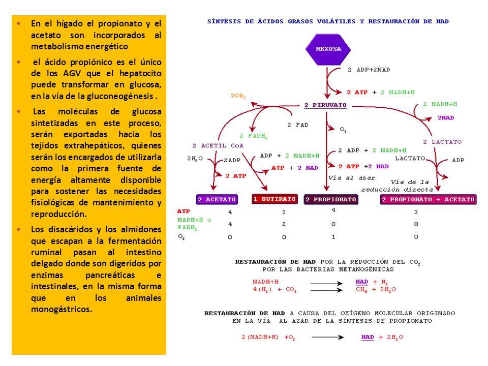 En el hígado el propionato y el acetato son incorporados al metabolismo energético el ácido propiónico es el único de los AGV que el hepatocito puede