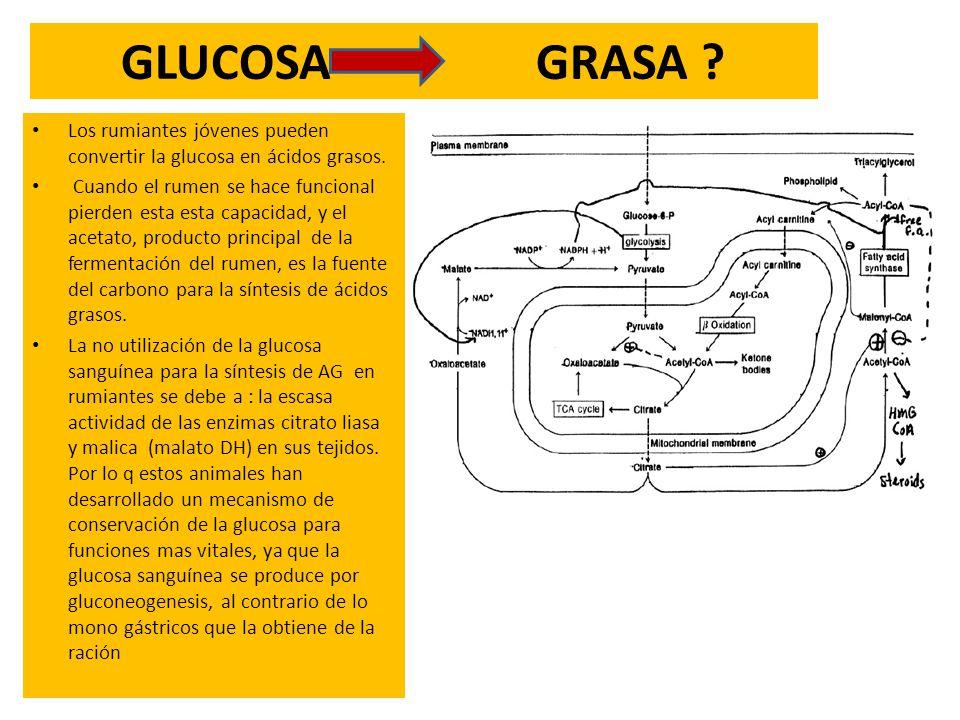 GLUCOSA GRASA ? Los rumiantes jóvenes pueden convertir la glucosa en ácidos grasos. Cuando el rumen se hace funcional pierden esta esta capacidad, y e