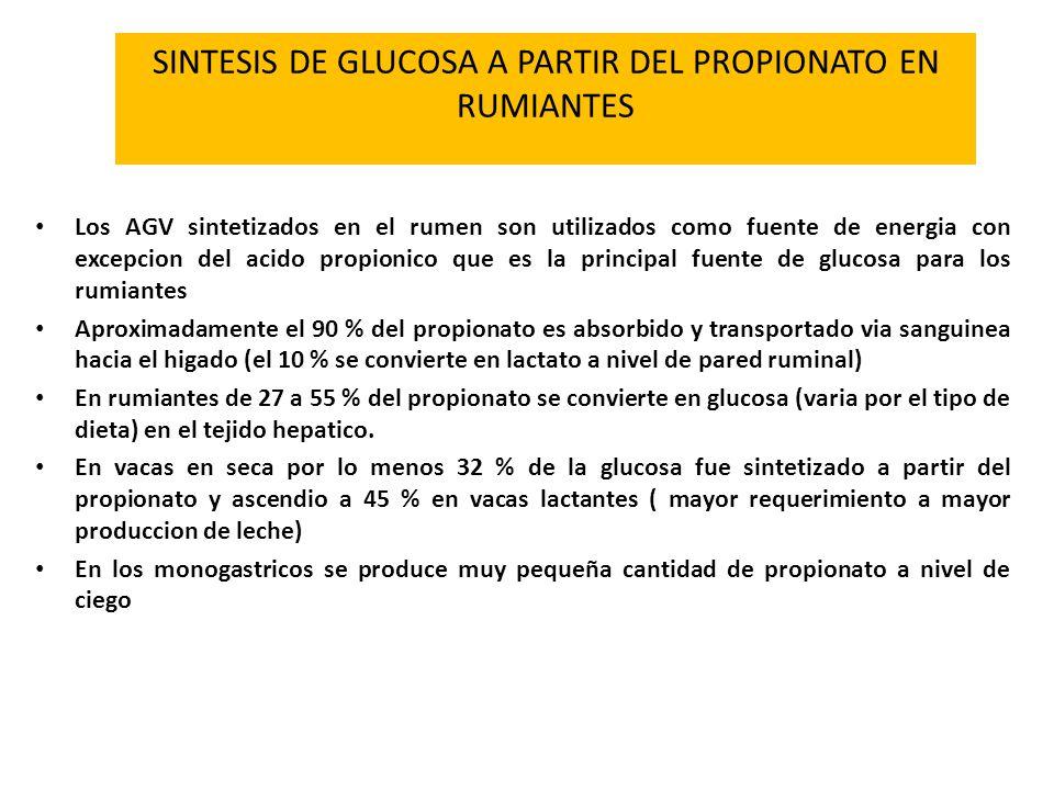 SINTESIS DE GLUCOSA A PARTIR DEL PROPIONATO EN RUMIANTES Los AGV sintetizados en el rumen son utilizados como fuente de energia con excepcion del acid