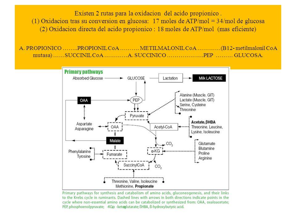 Existen 2 rutas para la oxidacion del acido propionico. (1) Oxidacion tras su conversion en glucosa: 17 moles de ATP/mol = 34/mol de glucosa (2) Oxida