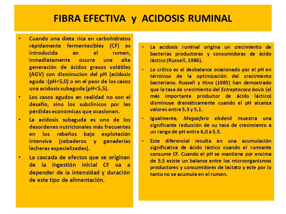 FIBRA EFECTIVA y ACIDOSIS RUMINAL Cuando una dieta rica en carbohidratos rápidamente fermentecibles (CF) es introducida en el rumen, inmediatamente oc