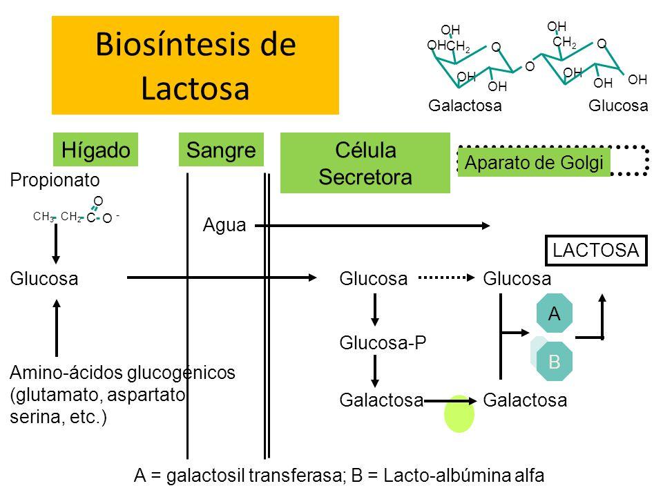 Biosíntesis de Lactosa O OH O CH 2 OH O CH 2 OH GalactosaGlucosa HígadoCélula Secretora Glucosa Sangre CH 3 CH 2 C O O - Propionato Amino-ácidos gluco