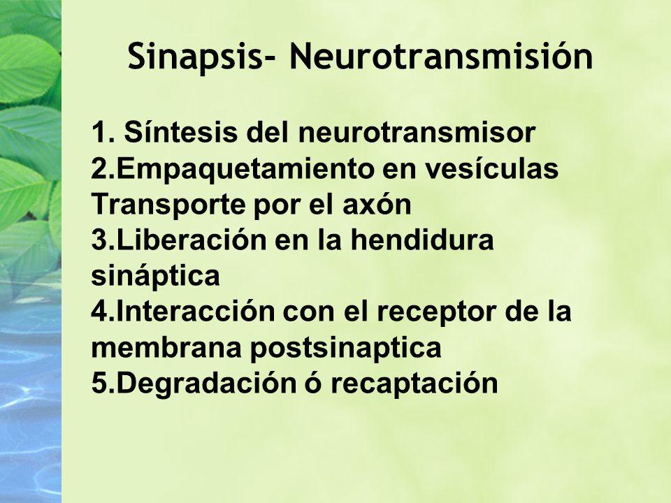 Sinapsis- Neurotransmisión 1. Síntesis del neurotransmisor 2.Empaquetamiento en vesículas Transporte por el axón 3.Liberación en la hendidura sináptic