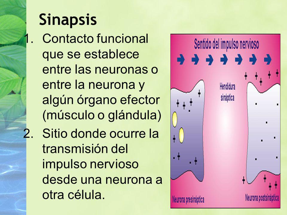 1.Contacto funcional que se establece entre las neuronas o entre la neurona y algún órgano efector (músculo o glándula) 2.Sitio donde ocurre la transm