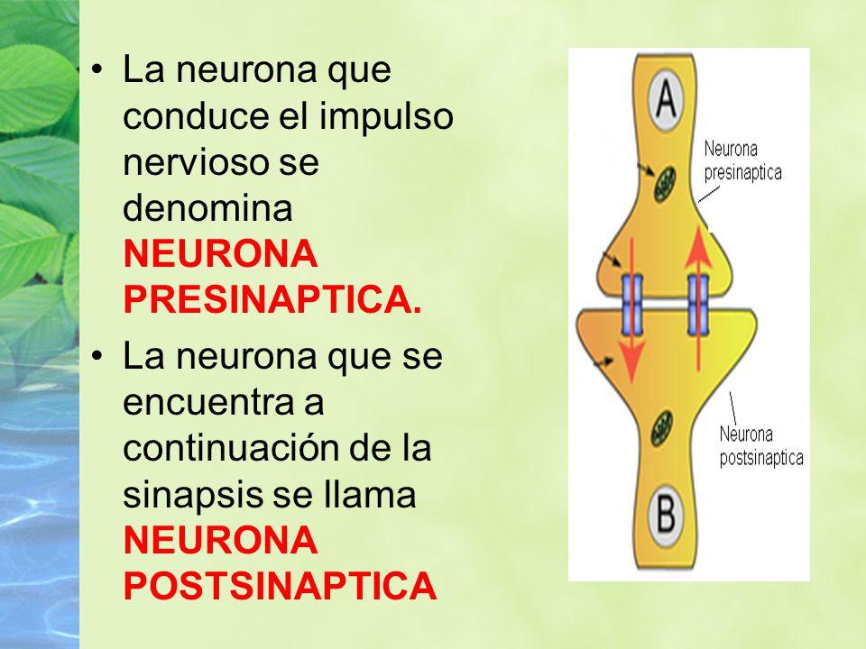 La neurona que conduce el impulso nervioso se denomina NEURONA PRESINAPTICA. La neurona que se encuentra a continuación de la sinapsis se llama NEURON