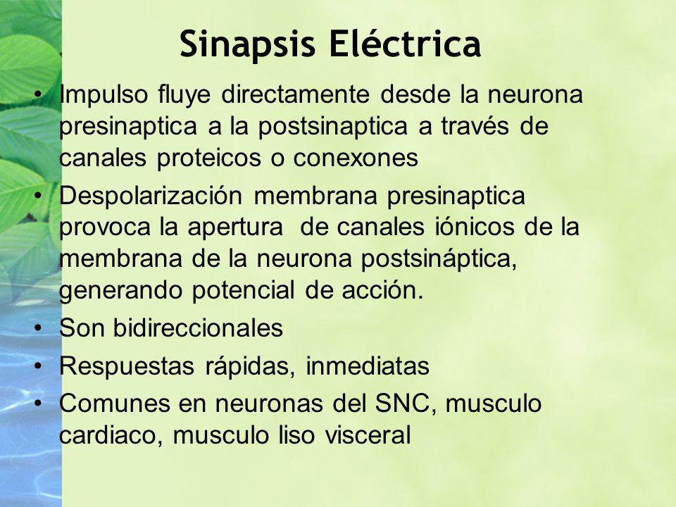 Sinapsis Eléctrica Impulso fluye directamente desde la neurona presinaptica a la postsinaptica a través de canales proteicos o conexones Despolarizaci
