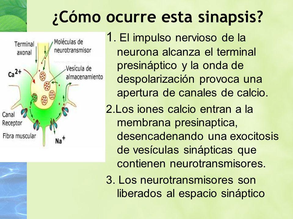 ¿Cómo ocurre esta sinapsis? 1. El impulso nervioso de la neurona alcanza el terminal presináptico y la onda de despolarización provoca una apertura de