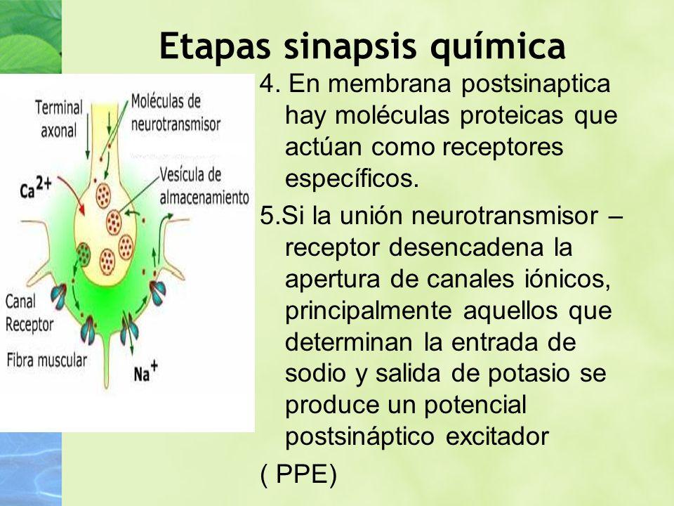 Etapas sinapsis química 4. En membrana postsinaptica hay moléculas proteicas que actúan como receptores específicos. 5.Si la unión neurotransmisor – r