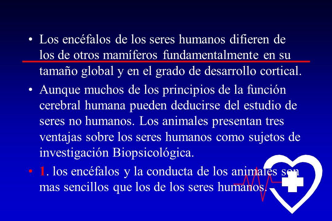 Los encéfalos de los seres humanos difieren de los de otros mamíferos fundamentalmente en su tamaño global y en el grado de desarrollo cortical. Aunqu