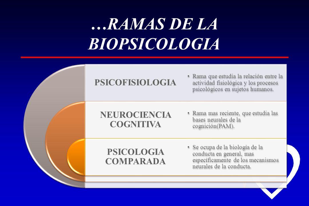 …RAMAS DE LA BIOPSICOLOGIA PSICOFISIOLOGIA NEUROCIENCIA COGNITIVA PSICOLOGIA COMPARADA Rama que estudia la relación entre la actividad fisiológica y los procesos psicológicos en sujetos humanos.