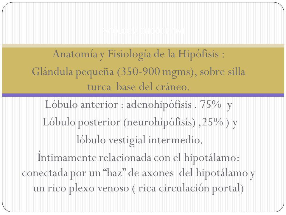 Anatomía y Fisiología de la Hipófisis : Glándula pequeña (350-900 mgms), sobre silla turca base del cráneo. Lóbulo anterior : adenohipófisis. 75% y Ló