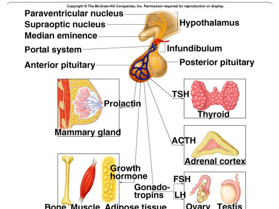 Feocromocitoma Tumor de células cromafines Libera catecolaminas (hipertensión fatal 0.3% de las hipertensiones).