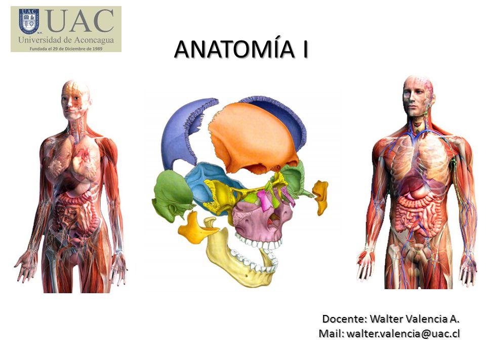 DESCRIPCIÓN 1.- Asignatura de Anatomía I consta de 72 horas semestrales, con una distribución de 54 horas de teoría y 18 horas de prácticos en laboratorio (distribuidas durante 9 semanas).