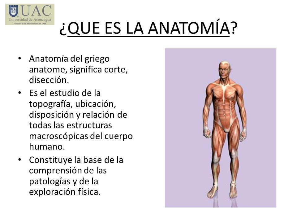 ¿QUE ES LA ANATOMÍA? Anatomía del griego anatome, significa corte, disección. Es el estudio de la topografía, ubicación, disposición y relación de tod