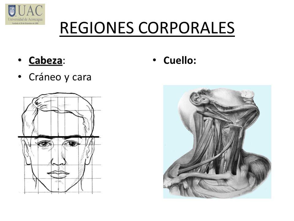 REGIONES CORPORALES Cabeza Cabeza: Cráneo y cara Cuello:
